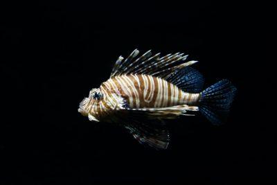 invasive seafood